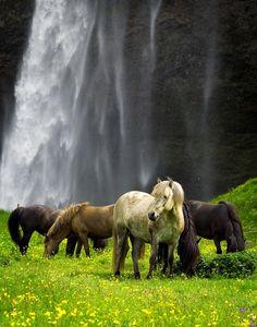 Cavalos selvagens, Islândia