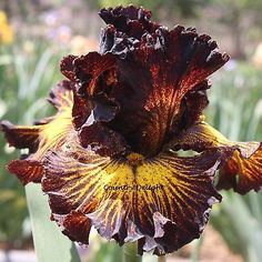 TUSCAN SUMMER Tall Bearded Iris - SHIPPED IN JULY