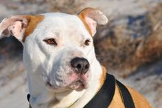 Daisy <3 October is Adopt a Shelter Dog Month #pitbull