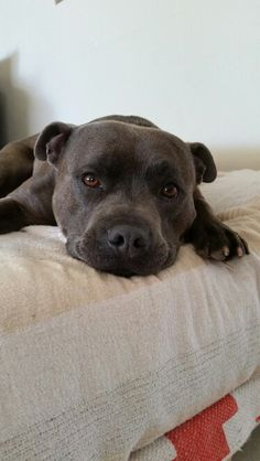 Storm. Male english staffordshire bull terrier.  3 yr old. Blue Fawn brindle. Loved family pet. #staffy