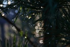 Check out Pine needles by Ilse Innire on Creative Market
