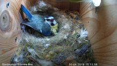Blue Tit chicks are doing well in our Gardenature sideview box! A selection of bird photos Funny Birds, Cute Birds, Pretty Birds, Beautiful Birds, Animals Beautiful, Cute Little Animals, Little Birds, Cute Funny Animals, Nature Animals