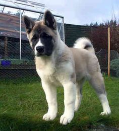 Akita (from the movie Hachiko: the dog's story) love these dogs!!