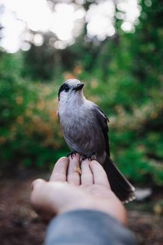 ben(jami)n gie(sbrecht): Sharing my lunch with a Whiskey Jack. Gray Jay, High Fantasy, Winter House, Face Reference, Animals Of The World, Love Birds, Color Themes, Hopeless Romantic, Wildlife Photography