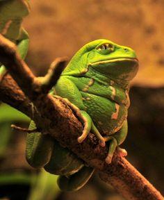 waxy monkey frog...