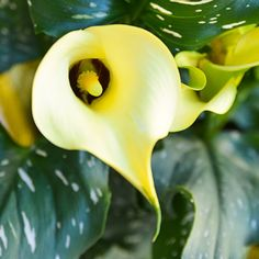 How to Care for Potted Calla Lilies