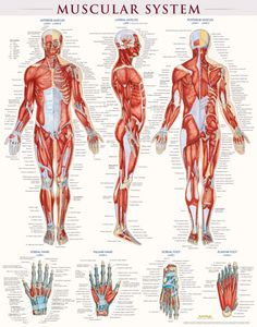 MUSCULAR SYSTEM Poster $17.95 #Muscular system #medical #doctor #muscles