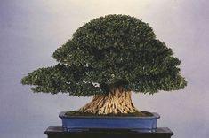 Ficus, Herbs, Bonsai Art, Shrub, Herb, Figs, Fig, Ficus Tree, Medicinal Plants