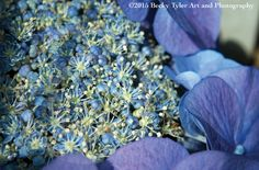 Hydrangea Fine Art Photo Print by BeckyTylerArt on Etsy
