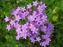 Lila-wildblumen