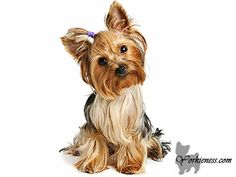 Super effective and easy way to train your pup to potty The challenge of raising a Yorkie pup is not for everyone I must say. Like all young dogs and pets in general they demand a lot of attention and affection and they need you as their owner to teach them how to behave in everyday life.......  Read more at : Yorkieness.com