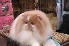 Midwest Persian Tabby Fanciers 54th CFA allbreed cat show recap