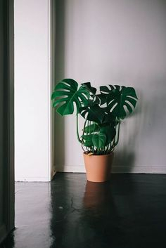 Is this like the neatest monstera or whaaat? I N S T A G R A M - Is this like the neatest monstera or whaaat? I N S T A G R A M Is this like the neatest monstera or whaaat? Green Plants, Potted Plants, Indoor Plants, Monstera Deliciosa, Philodendron Monstera, Planet Decor, Indoor Garden, Home And Garden, Cactus Plante