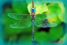 Dragonfly Photo Insect Photo Nature Photo by LDTwedePhotography