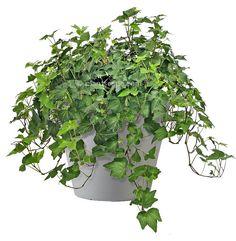 English ivy (Hedera helix) - filters benzene, trichloroethylene, formaldehyde, xylene and toluene