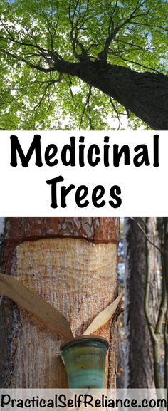 Medicinal Trees ~ Tree Based Herbal Medicines