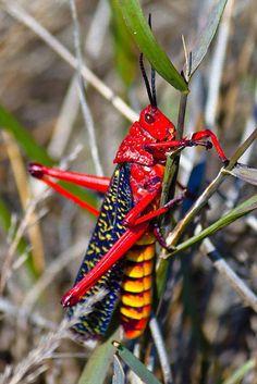 Rainbow Milkweed Locust | Phymateus