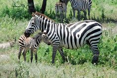 zebra pictures | By volovecto | Published August 9, 2010 | Full size is 1148 × 771 ...