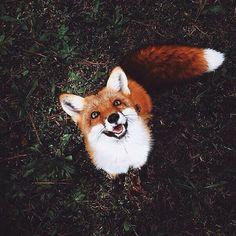 Всем довольную лисичку лиса, Фото, фотография