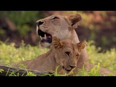 La Reine Lionne Documentaire animalier en Français France, Documentary, Wild Animals, Queen, French