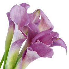 "The Lavender Gem Mini Calla Lily has a large, trumpet-shaped bloom that rests upon a long, smooth stem. Symbolizing ""magnificent beauty,"" the Calla"