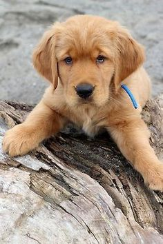 the only thing i want is a gold retriever. and a diamond. OR together?! okay, i'm done.