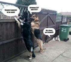 This is what I think the german sheps at the end of my street do when people walk by.  They stare you down...its very rude.