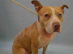 RETURN!! STRAY! SUPER URGENT Manhattan Center RED VELVET – A1104015  **RETURNED 03/06/17**  NEUTERED MALE, APRICOT / WHITE, PIT BULL MIX, 4 yrs STRAY – EVALUATE, HOLD FOR ID Reason STRAY Intake condition EXAM REQ Intake Date 03/06/2017, From NY 10002, DueOut Date 03/13/2017,