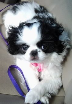 Japanese Chin puppy, Mochi. my Japanese Chin crosses his paws too