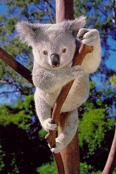 Koala Bear Becoming Threatened Species [Video]:  Koala populations have faced growing threats in the past 20 years, with numbers dropping by 40 per cent in Queensland and by a third in New South Wales.