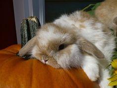 Pumpkin colored bunny on a pumpkin!