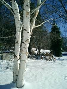 Clump Birch Tree (snow trees winter ). Photo by vanfred