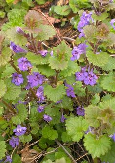 Ground Ivy, Tinwell Rd, April 2014