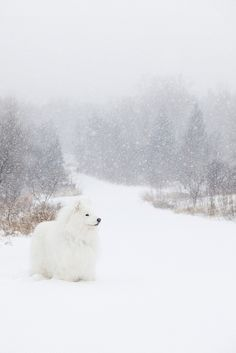 Samoyed in a blizzard. That's just a leisurely walk for him.