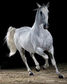History Of The Lipizzaner Horse  I think these are some of the most beautiful and amazing horses ever--such magnificent animals!