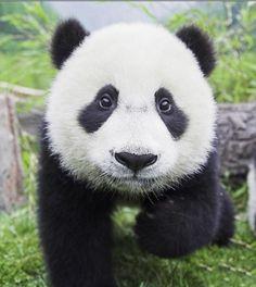 Small Panda #Panda