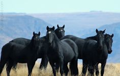 All black Mustang band in OR....Voodoo is at the far back, his mare Raven with the big star in the front. Their 2015 filly, Jinx, is on the left. 2014 colt Mojo is to the right of Raven, and behind Mojo, is 2013 colt, JuJu.