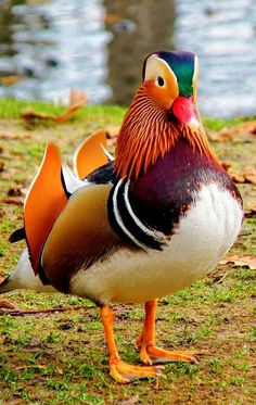 Love these mandarin ducks