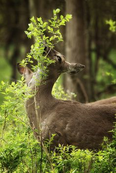beautiful deer in the enchanted forest Beautiful Creatures, Animals Beautiful, Cute Animals, Animals Images, Wild Animals, The Magic Faraway Tree, Raindrops And Roses, All Nature, Forest Friends