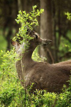 Green deboracpq:    Deer With Fresh Salad by Gator 5 on Flickr.      (via imgTumble) Green in nature