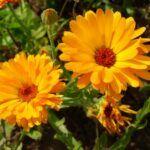 Alegeţi pulberea din FLORI de PĂDUCEL în HIPERTENSIUNE, COLESTEROL mărit şi POSTINFARCT - Top Remedii Naturiste Plants, Plant, Planets