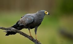 Polyboroides typus - African Harrier-Hawk -- Sighted: 6/1/2015 Lions Sands Private Game Reserve