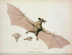 Pteropus rostratus. From New York Public Library Digital Collections.