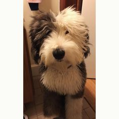 """2,367 Likes, 10 Comments - Old English Sheepdog Magazine® (@oldenglishsheepdoggram) on Instagram: """" Click the link in our bio (profile) to SHOP OES Mugs Leggings Shirts and Hoodies ➡…"""""""
