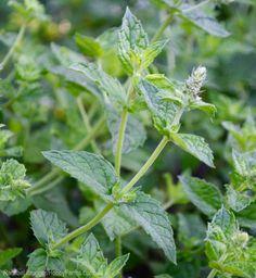 5 Herbal Teas You Can Grow Yourself - Photo by Rachael Brugger (HobbyFarms.com)