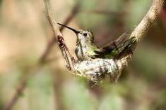 How to Find a Hummingbird Nest. The Hummingbird Nest Do you want to find a hummingbird nest and witness the amazing birth and beginning days of a hummingbird& life? Hummingbird House, Hummingbird Nests, Hummingbird Plants, Hummingbird Habitat, Hummingbird Migration, Hummingbird Photos, How To Attract Birds, How To Attract Hummingbirds, Baby Hummingbirds