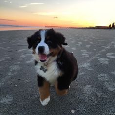 "Bernese Mountain Dogs on Instagram: ""Pure joy. @boca_gram"""