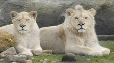 witte leeuwen in Mondo Verde
