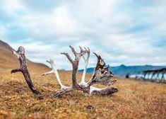 reinsdyr - Google-søk