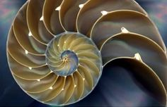 Shell - Golden Ratio